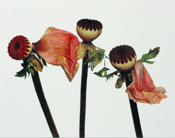 The Language of Flowers, Gucci Museo, Irving Penn, Single Oriental Poppy (A), New York, 1968 Copyright The Irving Penn Foundation